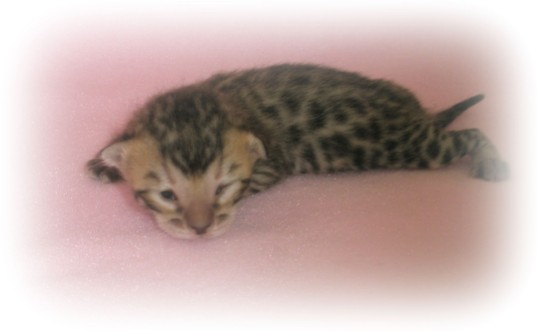 Bengal kitten for sale uk