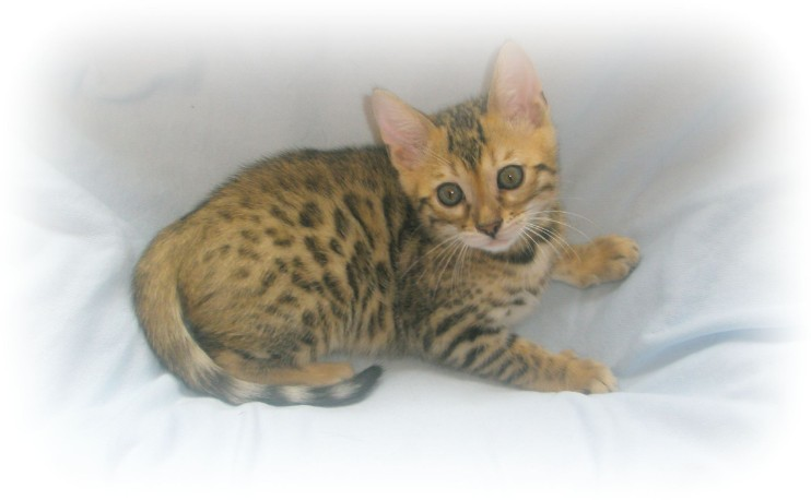Bengal kittens for sale kent