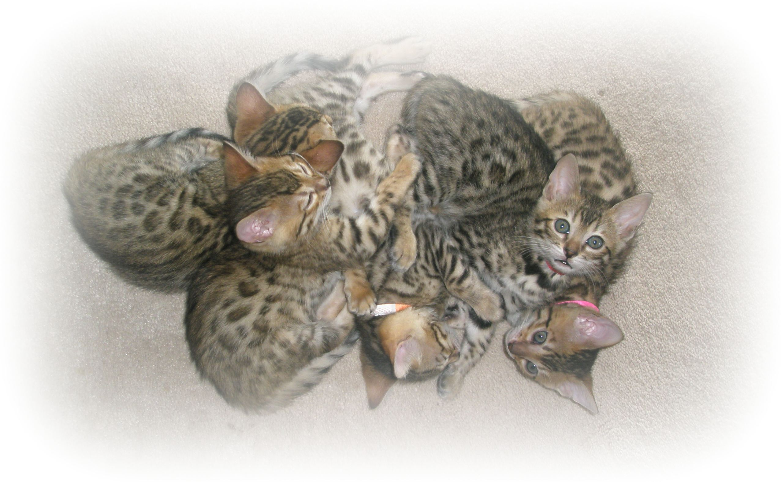 toy kittens for sale in va